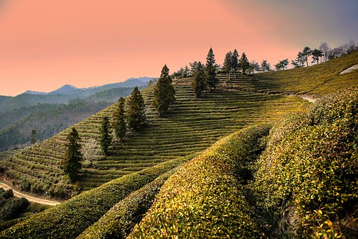 Boseong, Green Tea Plantation, Landscape