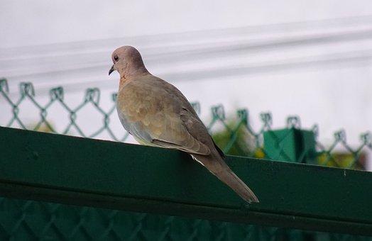 Bird, Laughing Dove