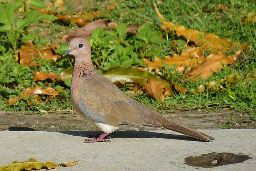 Dove, Bird, Laughing Dove