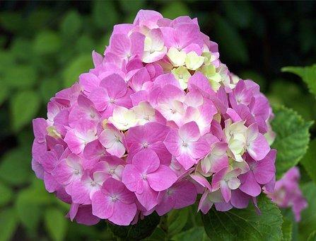 Garden Hydrangea, Hydrangeas, Perennial, Flower, Woody
