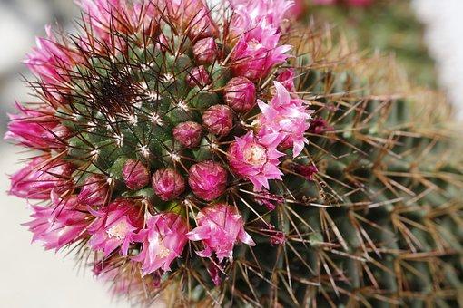 Cactus, Blossom, Bloom, Plant, Nature