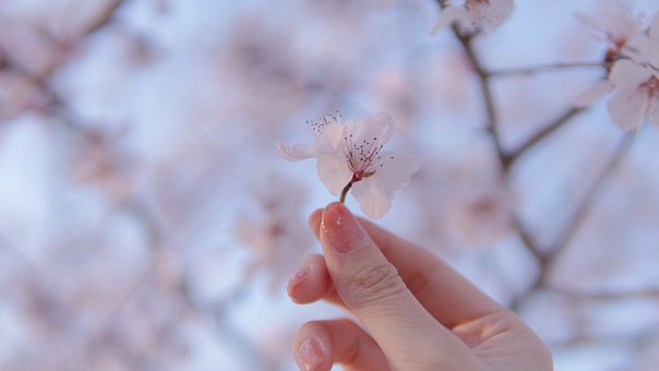 Cherry Blossom, Flower, Spring