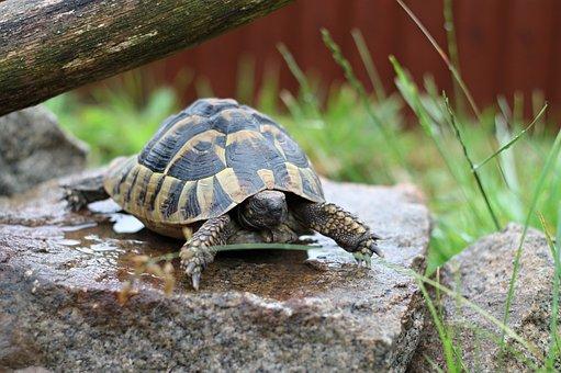 Turtle, Zelenavá, Terrestrial, Wet, Stone, Creature