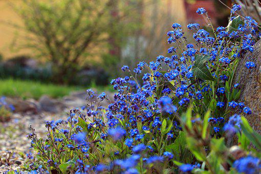 Forget Me Not, Spring, Garden