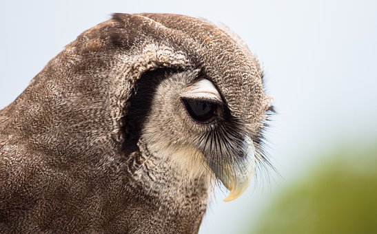 African Eagle Owl, Eagle Owl, Milchuhu, Owl, Bird