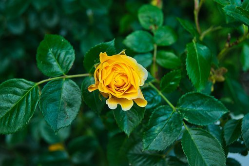 Rosa, Flor, Verde, Naturaleza, Amarillo, Jardin