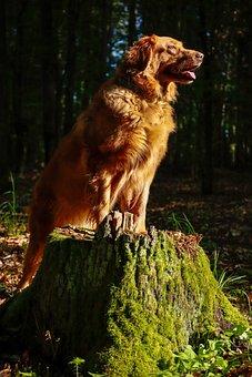 Dog, Hoverwart, Forrest, Sun, Landscape, Summer, Tree