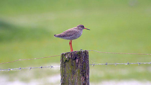 Redshank, Microdrile, Wader, Wet Meadow, Nature Reserve