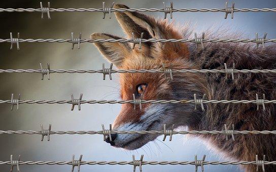 Fox, Animal, Animal Welfare, Nature, Wildlife, Winter