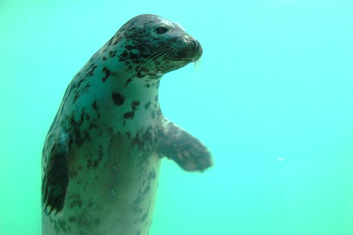 Seal, Cornish Seal Sanctuary, Gweek, Uk, Underwater