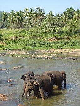 Elephants, Herd, Tamed, Bathing, River, Trees