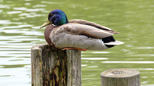 Bird, The Duck, Male, Feathers, Wings, Beak, Care