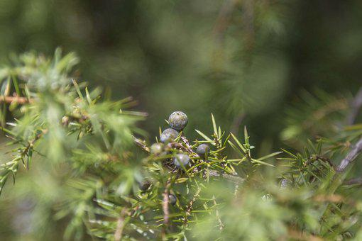 Juniper, Berries, Nature, Plant, Needles, Evergreen