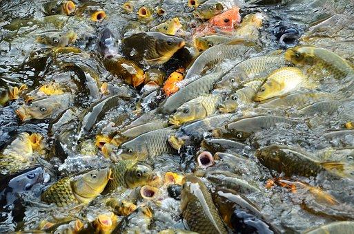 Carp, Fish, Vie, Open Mouth, Mouth, Many