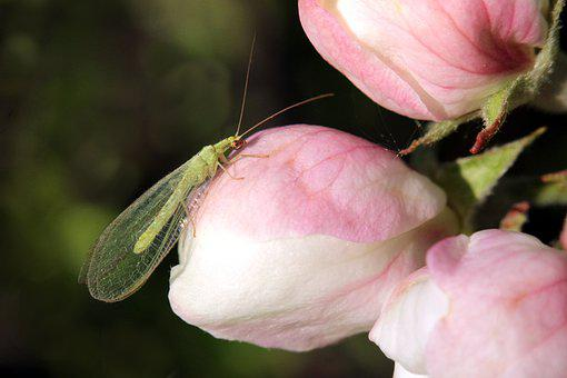 Lacewing, Insect, Antenna, Arthropod