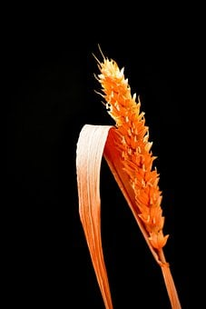 Grain, Wheat, Agriculture, Cereals