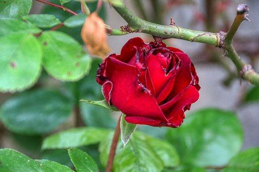 Rose, Love, Wedding, Valentine's Day, Romantic, Romance