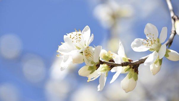 Mountain Peach, Peach Blossom, Spring, China, Flowers