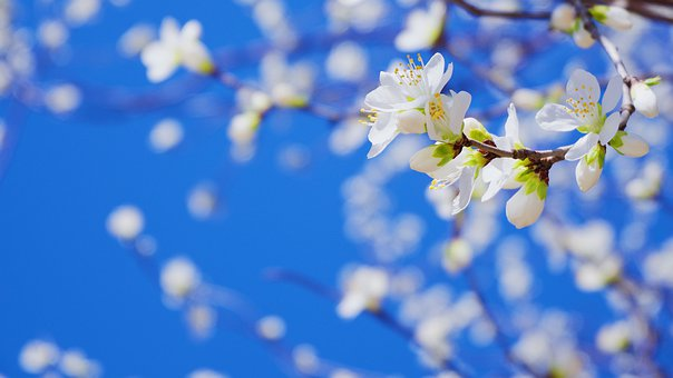 Peach Blossom, Mountain Peach, Spring, China, Flowers