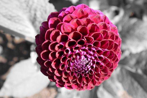 Dahlia, Round, Flower, Pink, Purple, Black And White
