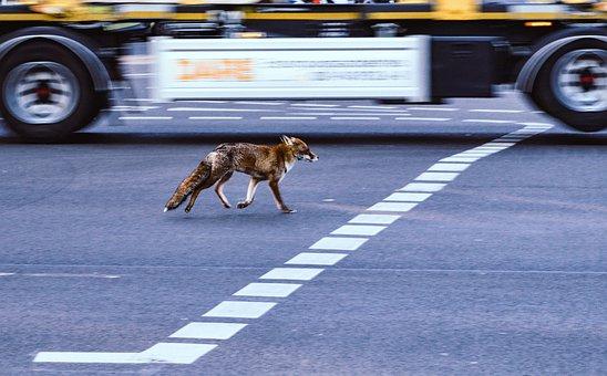 Fuchs, City, Traffic, Road, City Animal, Area, Conquest