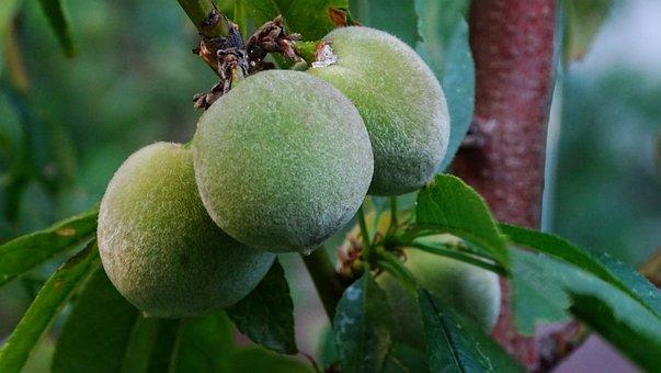 Tree, Peaches, Nature, Spring, Fruit, Garden, Plant