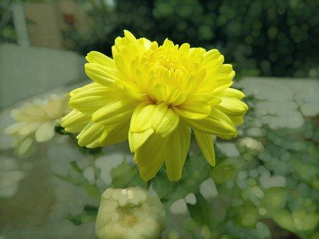 Radiant Yellow, Yellow, Yellow Flower, Radiant