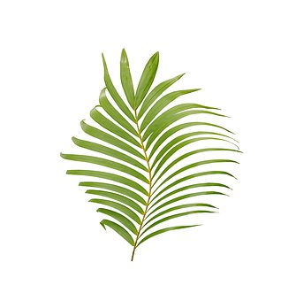 Palm, Leaf, Tropical, Plant, Nature, Tree, Exotic