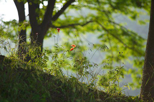 Nature, Morming, Tree, Poppy, Wood, Flowers, Scenery