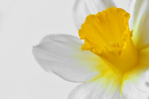 Daffodil, Flower, Spring, Blooms At