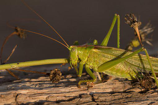 Insect, Grasshopper, Nature, Sunshine
