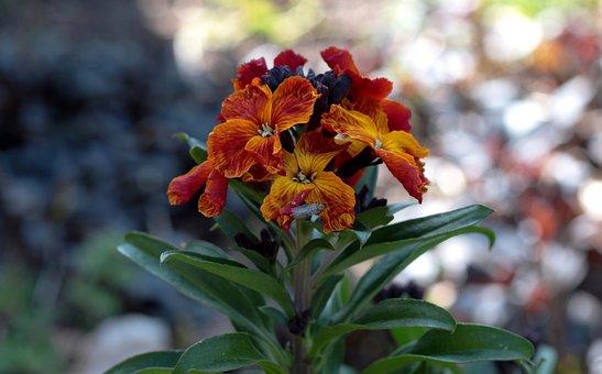 Erysimum Cheiri, Wallflower, Island Wallflower