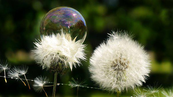 Dandelion, Soap Bubbles, Nature