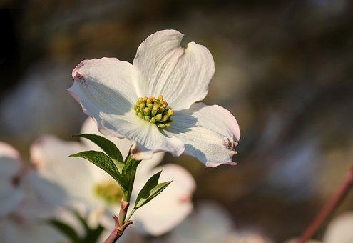 Dogwood, Ornamental Shrub, Bush, Blossom, Bloom, White