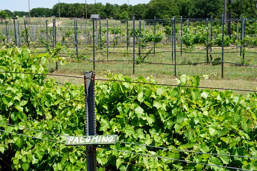 Palomino, Grape, Vineyard, Vine, Wine, Grapes, Winery