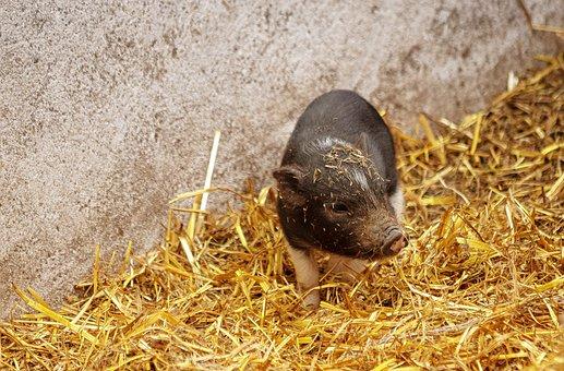 Piglet, Pig, Animal, Mammal, Animal World, Rural