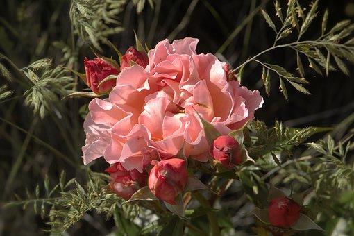 Blossom, Bloom, Rose, Rose Bloom, Pink, Apricot