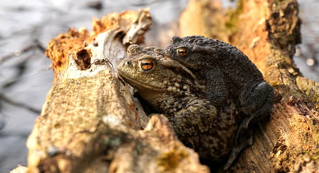 Frogs, Reproduction, Piggyback, Eat, Spider, Pairing