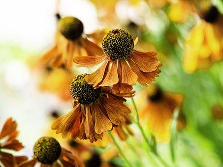 Common Sneezeweed, Helenium Autumnale, Sunflower