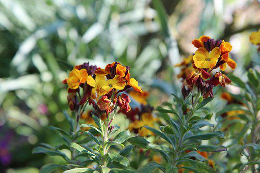 Wallflower, Wallflower Bi-color, Flowering