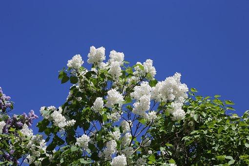 Siren, Lilac, Bush, Flower, White, Summer, Yard, Garden