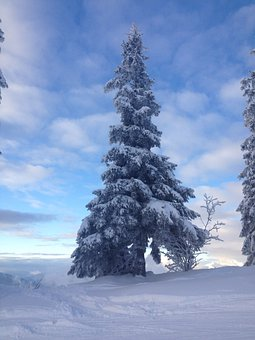 Tree, Snow, Winter, Fir, Cold, Nature