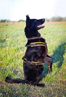 Black German Shepherd, Dog, Beg Nice, Good