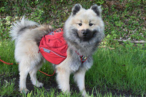 Dog, Dog Eurasier, Dog With Carrying Cases