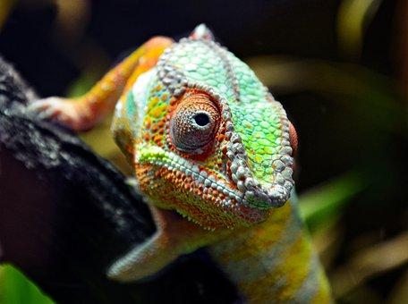 Chamälion, Lizard, Reptile, Scale, Dragon, Exotic
