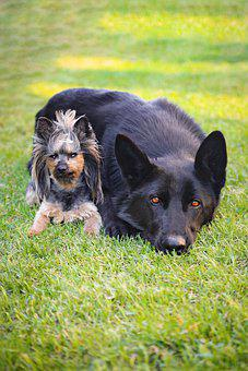 Yorkshire Terrier, Black German Shepherd, Friends, Love