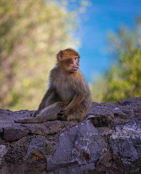 Monkey, Magot, Maccaque, Mammal, Wild, Mammals, Nature