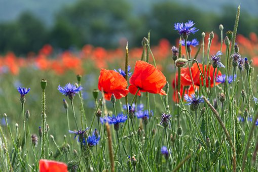 Poppies, Cornflowers, Wild Flowers, Nature, Meadow