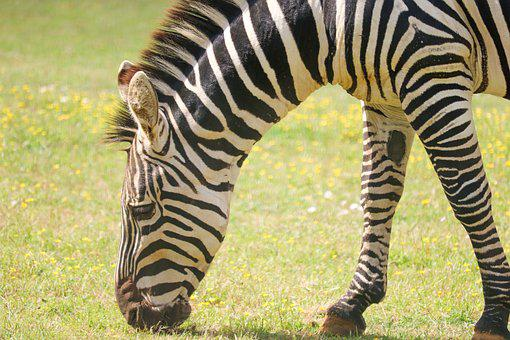 Zoo, Animal, Zebra, Africa, Nature, Safari, Wild