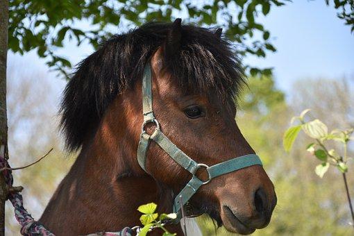 Pony, Shetland Pony, Mane Color Black, Equines